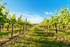 Vineyard during springtime in Reggio Emilia, italy Stock Images