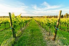 Vineyard during springtime in Reggio Emilia, italy. A vineyard during springtime in Reggio Emilia hills in Emilia Romagna, Italy Stock Photos