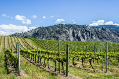 Vineyard in Springtime: Rows of Grapes under a blue sky Royalty Free Stock Image