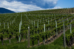 Vineyard in Springtime: Rows of Grapes under a cloudy sky Royalty Free Stock Photography