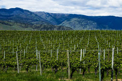 Vineyard in Springtime: Rows of Grapes under a cloudy sky Royalty Free Stock Photo