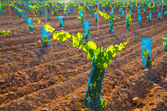 Vineyard sprouts baby grape vines in a row Stock Image