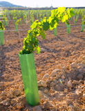 Vineyard sprouts baby grape vines in a row Stock Photo