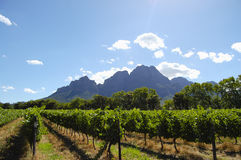 Vineyard - Stellenbosch - South Africa royalty free stock photo