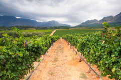 Vineyard - Stellenbosch, Western Cape, South Africa Stock Image