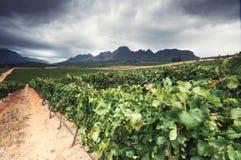Vineyard - Stellenbosch, Western Cape, South Africa Stock Images