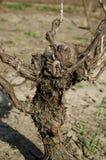 Vineyard stem Stock Photos