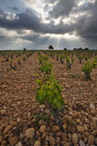 Vineyard before a storm. Stock Photo