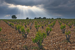 Vineyard before a storm. Stock Image
