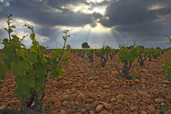 Vineyard before a storm. Stock Photos