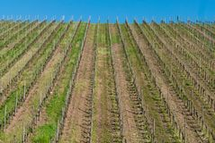 Vineyard stripes and blue sky stock photo