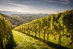 Vineyard. Styrian Tuscany Vineyard at summer  sunset, Austria Stock Image