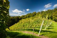 Vineyard. Styrian Tuscany Vineyard at summer  sunset, Austria Royalty Free Stock Photos