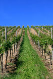 The vineyard in the summer Royalty Free Stock Photography