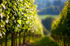 Vineyard in Summer Stock Photography