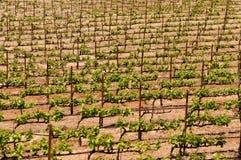 Vineyard in Summer Royalty Free Stock Photo