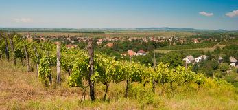 Vineyard in summer Royalty Free Stock Photos