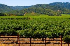 Vineyard in summer stock image