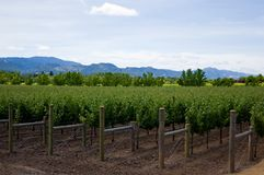 Vineyard in summer Royalty Free Stock Photo