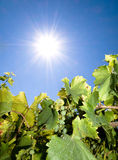Vineyard in Summer Royalty Free Stock Image