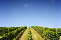Vineyard in summer Stock Images