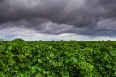 Vineyard in the summer on a background cloudy sky Stock Images