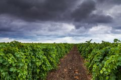 Vineyard in the summer on a background cloudy sky Stock Image