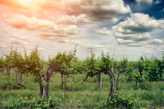 Vineyard in summer Royalty Free Stock Photography