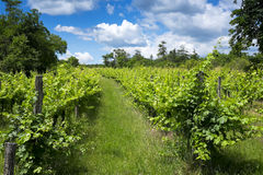Vineyard at summer Stock Images