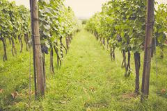 Vineyard in the summer on a cloudy day. Toned stock photography
