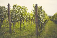 Vineyard in the summer on a cloudy day. Toned royalty free stock photo