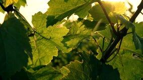Vineyard at summer stock video