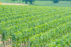 Vineyard on a  summer day Stock Image