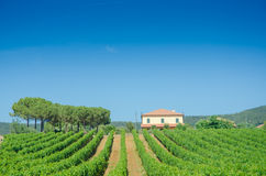 Vineyard on a  summer day Stock Photos