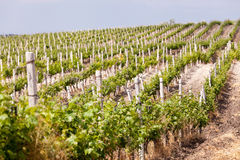 Vineyard in the summer Stock Photography