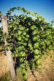 Nature and agriculture, vineyard. Vineyard in summer, detail of plant arrays Royalty Free Stock Photos