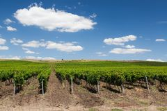 Vineyard in the summer. Endless well-maintained vineyard fields during sunny day in summer in Bulgaria stock photo
