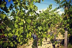 Nature and agriculture, vineyard. Vineyard in summer, grapes pending from plants Stock Photos