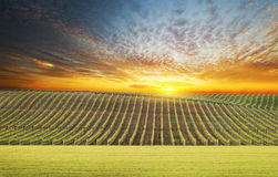 Vineyard summer landscape. Bright sunset at the valley of grapes, agricultural industry at harvest season stock images
