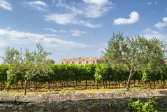Vineyard at summer in Languedoc-Roussillon Royalty Free Stock Image