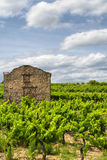 Vineyard at summer in Languedoc-Roussillon Stock Photos