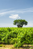 Vineyard at summer in Languedoc-Roussillon Stock Photo