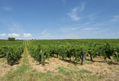 Vineyard in summer time Royalty Free Stock Photography