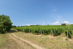 Vineyard in summer time Stock Photography