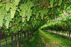 Vineyard on summer Stock Photo