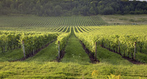 Vineyard in sun Royalty Free Stock Image