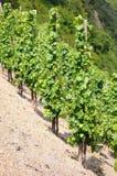 Vineyard in sun. argiculture Royalty Free Stock Photos