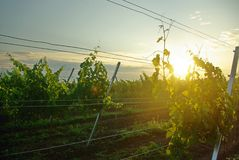 Vineyard sun. The morning sun in the vineyard Royalty Free Stock Photos