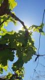 Vineyard and sun royalty free stock photos