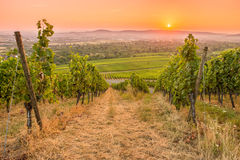 Vineyard with sun in the sky Stock Photos